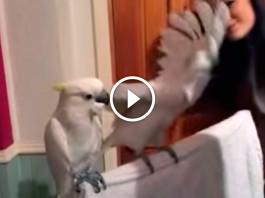 papagal_dansator